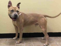 ***SUPER URGENT 6/18/14 HE CAME IN WITH HIS LITTLE FRIEND THE CAT!! *** Manhattan Center   DUTCH - A1003763  I am an unaltered male, tan and white Pit Bull Terrier mix.  The shelter staff think I am about 10 years old.  I weigh 58 pounds.  I was found in NY 10455.  I have been at the shelter since Jun 18, 2014.  https://www.facebook.com/photo.php?fbid=823229667689914set=a.617942388218644.1073741870.152876678058553type=3theater