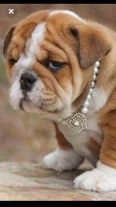 3010b29a9da English Bulldog puppy  bulldogsenglish  bulldogpuppies Baby Puppies
