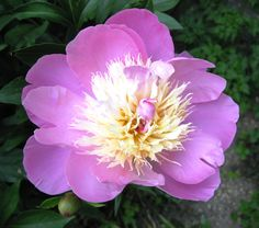 peony in my romantic garden