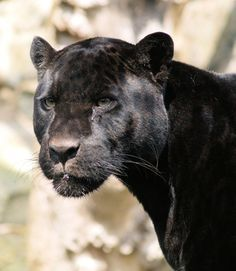 Black Panther on Pinterest | Black Panthers, Panthers and Cubs