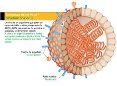 Estructura de un virus