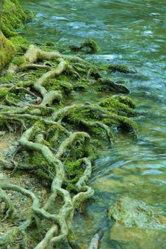 Tree Roots on a River