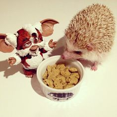3,533 отметок «Нравится», 84 комментариев — Shota Tsukamoto (@darcytheflyinghedgehog) в Instagram: «#hedgehog»