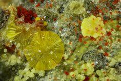 Calcurmolite, Ca(UO2)3(MoO4)3(OH)2•11(H2O), Umohoite, [(UO2)MoO4]•H2O, Uranophane-β, Baryte, Mas d'Alary, Lodève, Hérault, Occitanie, France. Fov 2.20 mm