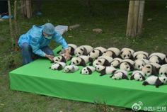 出典:news.ifeng.com 見てくださいこのパンダの赤ちゃんたち。まるで並べられてたぬいぐるみのようで […]