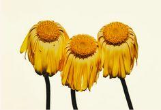 "Irving Penn - Gerbera Daisy/Gerbera jamesonii ""Husky,"" New York, 2006 Irving Penn Flowers, Gerbera Jamesonii, Husky, John Cage, Jasper Johns, New York, Gcse Art, Art Direction, Poppies"