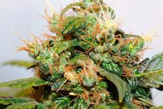 Weed Growing A step by step DIY beginner's guide. Grow Weed even if you've never grown anything before! EVERYTHING from seed to weed. Buy Cannabis Online, Buy Weed Online, Medical Cannabis, Cannabis Oil, Cannabis Edibles, Cbd Oil For Sale, Marijuana Plants, Cannabis Plant, Cannabis Growing