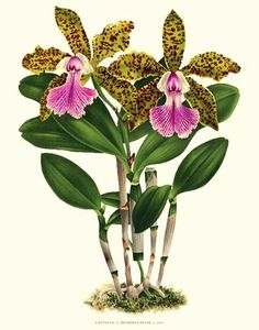 One in a series of vintage orchid prints I love for their detail and vibrancy, even in the muted colors.
