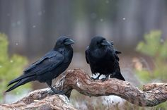Ravens by Lauri Tammik on 500px