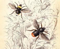 old prints bees | Antique Vintage Bee Print dated 1840
