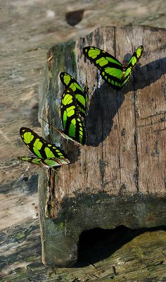 Scarce bamboo page, Dido longwing (Philaethria dido)
