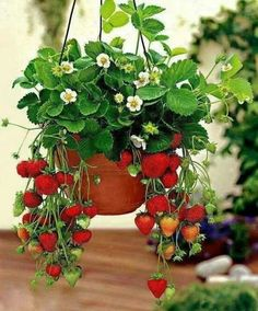 Bonsai Strawberry Seed Super sweet fruit seeds Organic healthy perennial plants for garden balcony High nutritional value Strawberry Seed, Strawberry Planters, Strawberry Hanging Basket, Strawberry Plant Care, Giant Strawberry, Strawberry Garden, Vegetable Garden, Garden Plants, House Plants