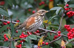The arrival of the redwing is a sure sign that winter is on its way. As the UK's smallest true thrush, its creamy strip above the eye and orange-red flank patches make it very distinctive. They roam across the UK's countryside, feeding in fields and hedgerows, rarely visiting gardens, except in the coldest weather when snow covers the fields.