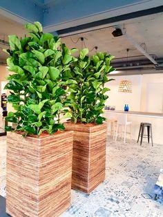 Ficus Lyrata in Banana planter