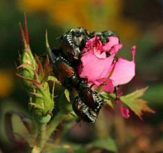There is nothing more frustrating to the rose loving gardener than the Japanese beetle. Read this article to look at some ways in which you can learn how to control Japanese beetles on roses. Bugs On Roses, Grub Worms, Rose Care, Natural Pesticides, Bloom Where You Are Planted, Garden Guide, Garden Ideas, Rose Bush, Gardens