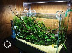 これも一度やってみたかった流木を水面から飛び出させるレイアウトこのサイズのブランチウッドでまた298円でした✨置けるスペースは限られていたので場所はやっつけです #水槽 #陰性水槽 #ブランチウッド #熱帯魚 #aquarium #natureaquarium #aquascape #aquaplants #tropicalfish #driftwood #ada #aquasky #like4like #followme