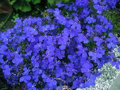 150 Sementes Da Flor Lobélia Azul Belíssima P/ Jardim Vasos! - R$ 8,99 no MercadoLivre