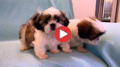 Videos Archives - Shih Tzu Buzz Small Puppy Breeds, Small Puppies, Little Puppies, Dog Breeds, Toy Shih Tzu, Shih Tzu Puppy, Shih Tzus, Lion Toys, Beady Eye