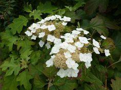 bloem Hydrangea quercifolia