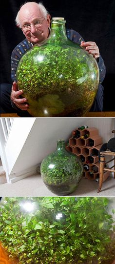 In a beautiful example of a closed but functional ecosystem, David Latimer has grown a garden sealed inside of a giant glass bottle that he has only opened once since he started it almost 54 years ago.