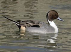 Legislative Effort to Reduce Drought Impact on California Birds | GarryRogers Conservation and Science Fiction: #EcoSciFi.  Northern Pintail (Wikimedia Commons)