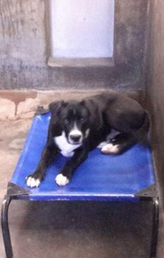 10/22/14 - ODESSA URGENT - Owner Surrender! Urgent!! Border Collie mix female less than a year old Kennel A7 Available NOW**** $51 to adopt Located at Odessa, Texas Animal Control. Must have a valid Drivers License and utility bill with matching address to adopt. They accept Credit Cards, cash or checks. We ARE NOT the pound. We are volunteers who network these animals to try and find them homes. Please send us a PM if we can answer any questions for you.