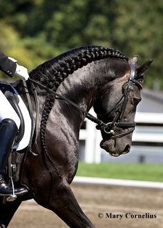 #Friesian stallion Rembrandt