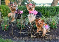 Millie LaRue and her sisters www.facebook.com/MillieLaRueFanClub #yorkshireterrier
