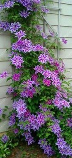 Clematis Front Yard Landscaping, Landscaping Ideas, Clematis Vine, Vines, Backyard, Outdoors, Landscape, Nature, Flowers