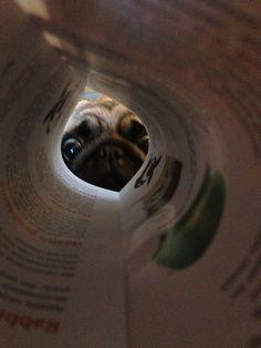 Peekaboo, Mr. Pug sees you!