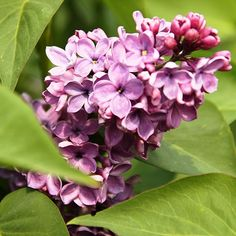 Flieder Syringa vulgaris 'Amethist 2' - Russische Raritäten - Flieder-Raritäten Fliedertraum