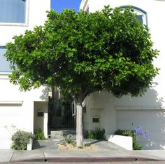 This shape is what Ben would like for the 2 feature trees. I like the colour, shape and foliage. This particular tree is the Cupaniopsis anacardioides - Tuckeroo.  We could set up a watering system on an automatic timer. Yes, we like the lollipop shape. Other tree ideas welcome. Pinned on 25 April 2016.