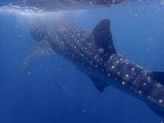 Day trip to Isla Mujeres in Summer months for the whale shark season