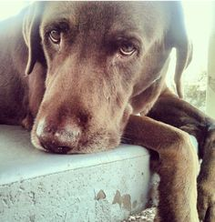 """Labrador Retriever ~ Classic """"Contemplative"""" Look Chocolate Labrador Retriever, Labrador Retrievers, I Love Dogs, Puppy Love, Cute Dogs, Chocolate Labs, Guide Dog, Tier Fotos, Lab Puppies"""