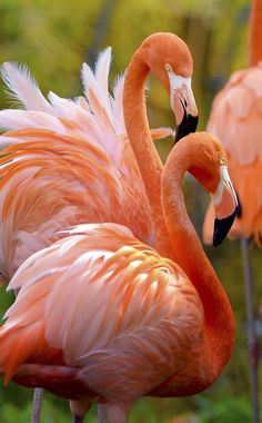 Orange flamingos....come to find out there are oodles of species of this bird