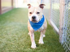 Meet Cherry, an adoptable Pit Bull Terrier looking for a forever home. If you're looking for a new pet to adopt or want information on how to get involved with adoptable pets, Petfinder.com is a great resource.