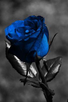 Blue rose iPhone wallpaper