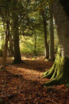 Sunlight and Shadows, Bolderwood, Hampshire