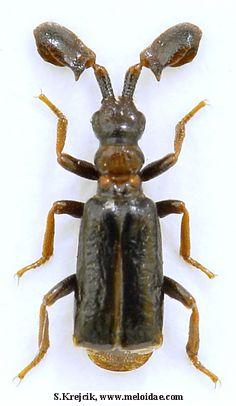 Paussus (Malgasipaussus) catalai Jeannel, 1946