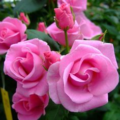 Pink-perfect model for icing roses on a cake