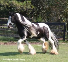Gypsy Vanner horse- the only thing keeping me from getting one is all that hair. Just saw a post where they braided the feathering... Hey mom?