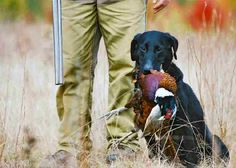 Lab pheasant hunt...Helen cant wait to go!