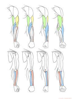 Human Drawing Reference, Human Anatomy Drawing, Figure Reference, Anatomy Reference, Arm Muscle Anatomy, Arm Anatomy, Body Anatomy, Arm Drawing, Body Drawing