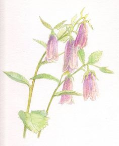 Cambanula - Spotted Bellflower - Watercolor by ianumeric on deviantART