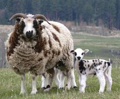 Jacob Sheep | Jacob Sheep are prolific, usually having twins or triplets. Jacobs are ...