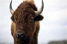 buffalo close-up