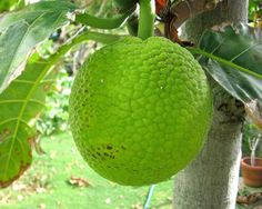 Bread Fruit - I am painfully aware that I do not know enough about Caribbean cooking and so I have taken a conscious decision to learn everything I can. I...