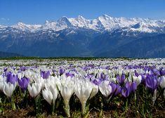 Springtime in Mountain, Beatenberg  Kanton Bern - Google