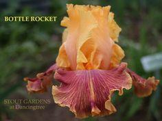 Iris PEACE PRAYER | Stout Gardens at Dancingtree