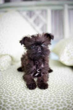 I would love one of these! A Brussels Griffon - just like Verdel :)
